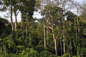Dschungel-Riesen