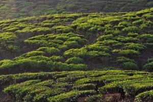Teeplantagen1