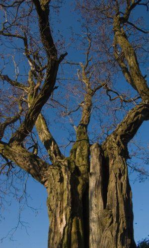 Baum-Senjor